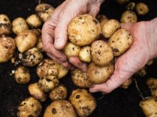 handful-of-dirty-potatoes