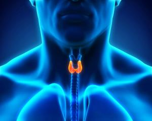 image-of-the-thyroid-gland-in-the-body
